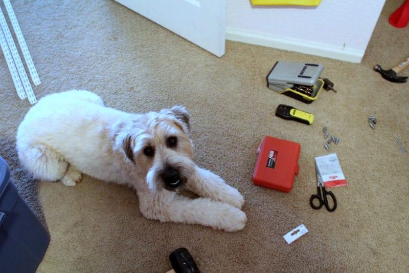 Kona the dog helping install our closet