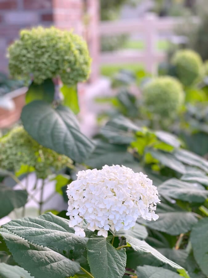 This picture holds to key to the secret tip for drying hydrangeas!