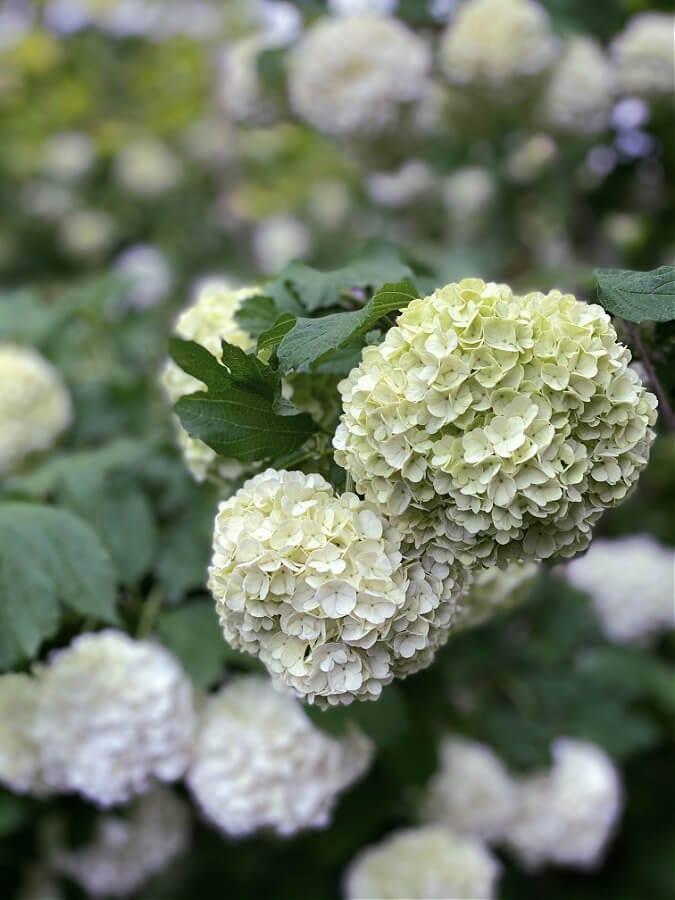 Viburnum Snowballs in full bloom!