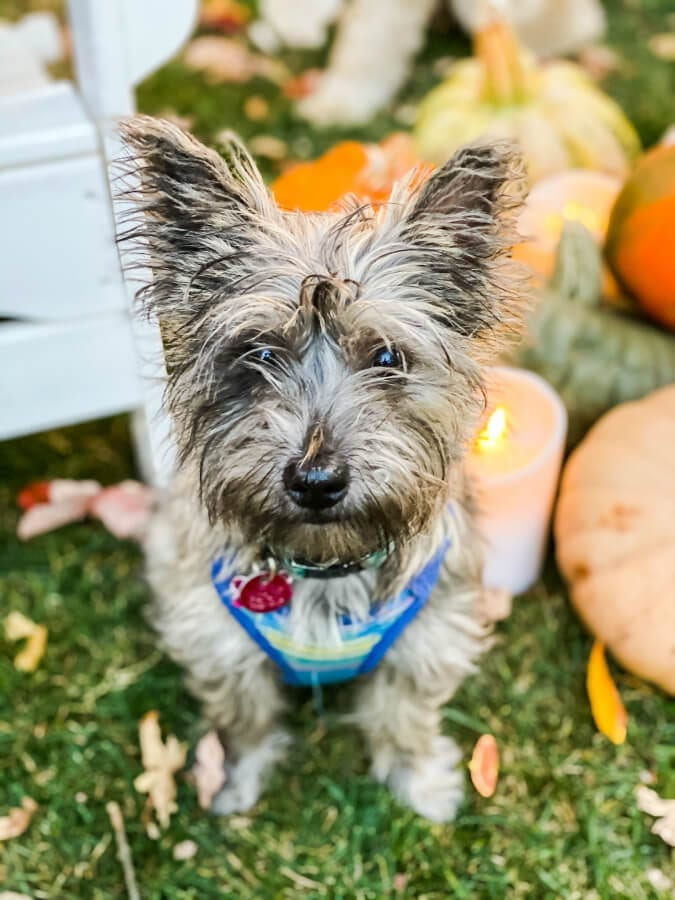 Our Cairn Terrier pup Zoey loves fall too!