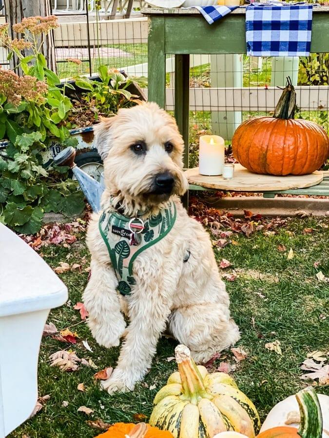 Sweet Kona, our wheaten terrier puppy loves the Fall backyard!