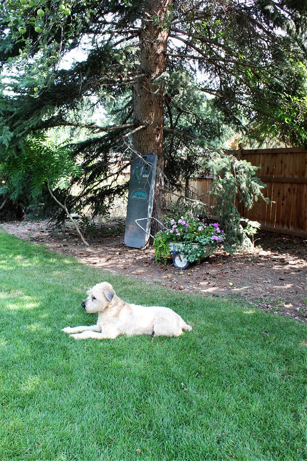 Our dog Kona loves the open space in our backyard.