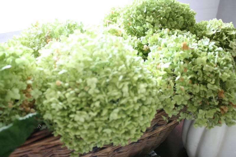 Dried Annabelle hydrangeas are the best shade of green.