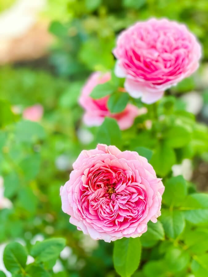 David Austin roses are a great perennial flower that blooms all summer long!