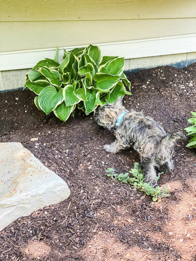 These beautiful hostas were gven to me and transplanted into our yard. Now to keep the puppy away!