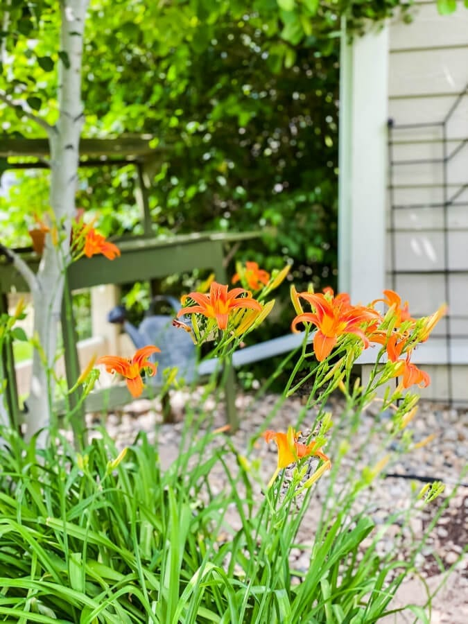 Lillies can be easliy divided and transplanted to new yards.