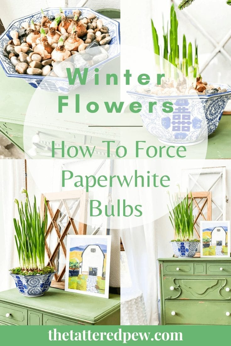 Winter Flowers: Learn how to force paperwhites bulbs!