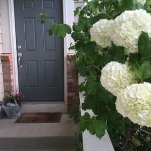 Front door viburnum snowballs