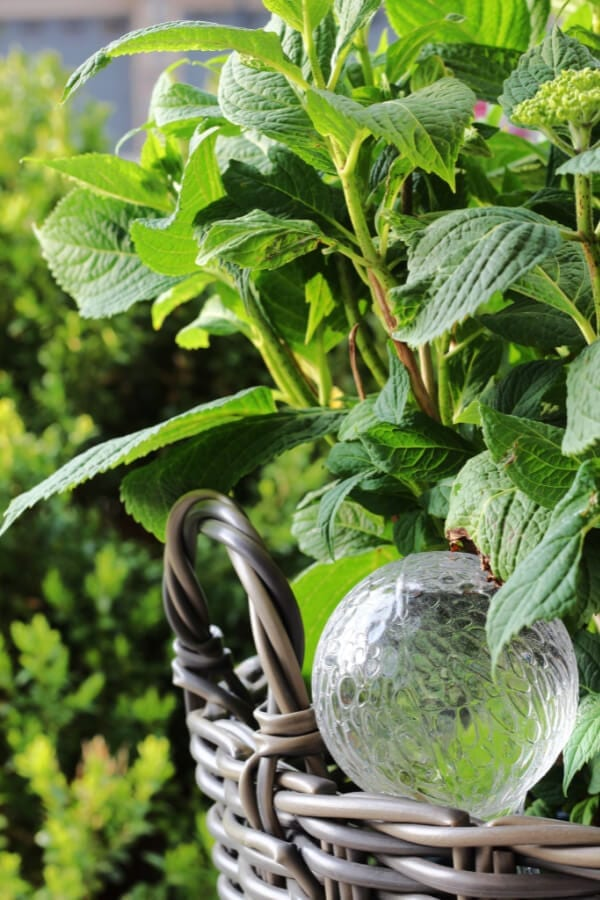 A plastic water globe keeps this hydrangea hydrated!