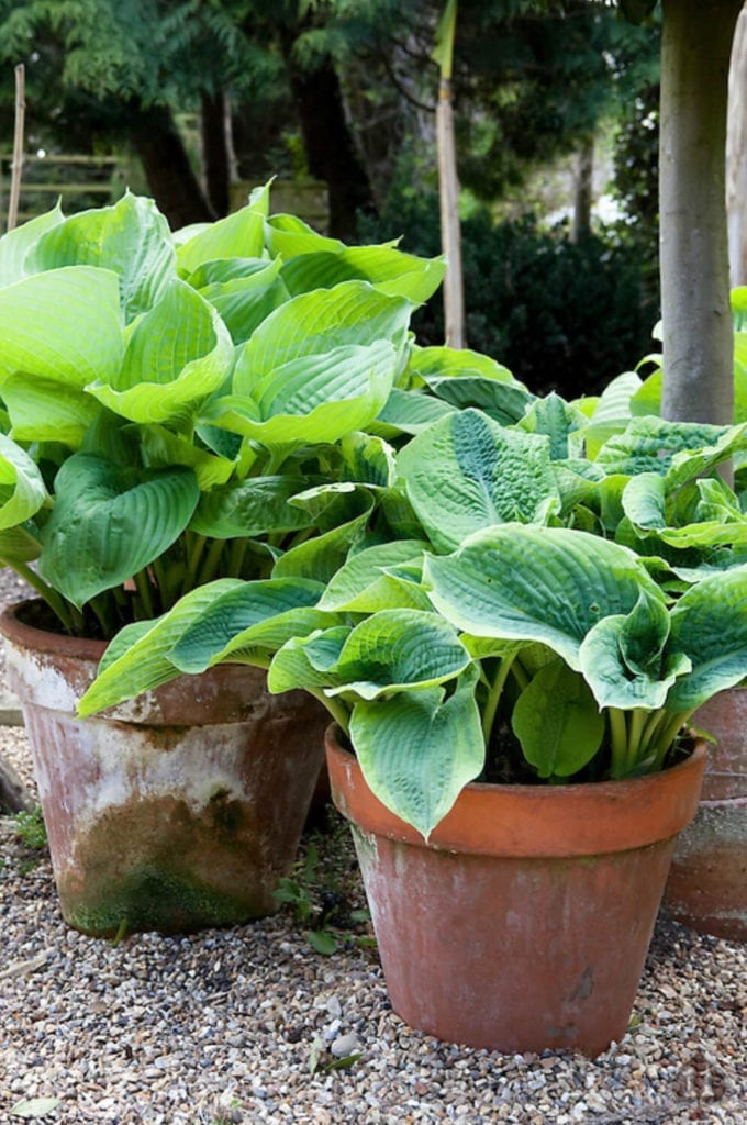 Beautifully potted hostas. Photography by Chris Ridley Photography