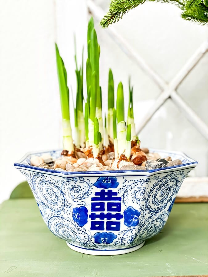 Growing paperwhites to use for winter decor.