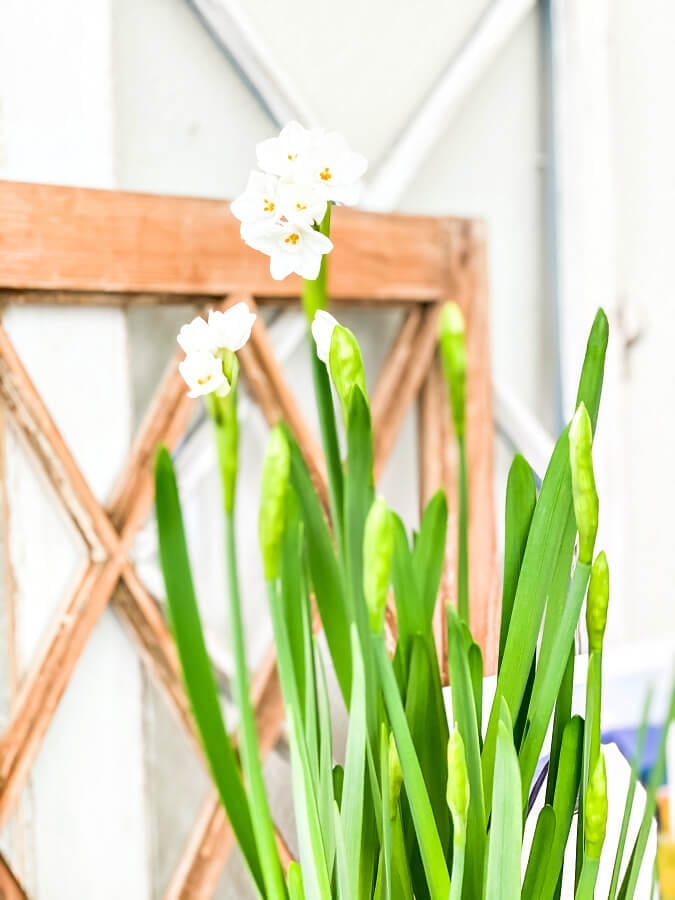 Pretty Paperwhites add the perfect touch to any winter decor and they are so easy to grow!