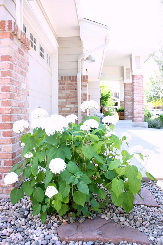 How to get your Annabelle Hydrangeas to last once you cut them!