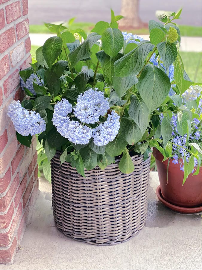 Try this hack for your wilting hydrangeas!