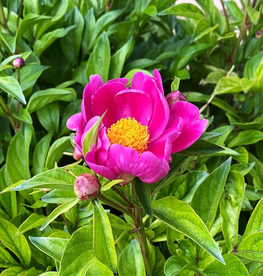 Our first peony of the summer!