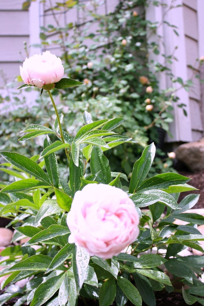 Peonies and roses!