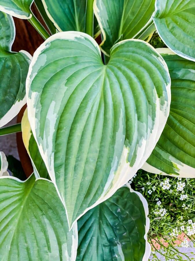 Hostas have the prettiest leaves!