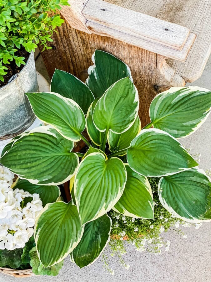 Tips and Tricks for Planting Hostas In Pots