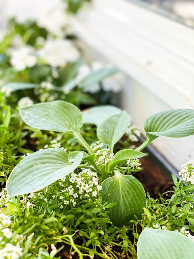 This mini hosta is thriving in my window box.