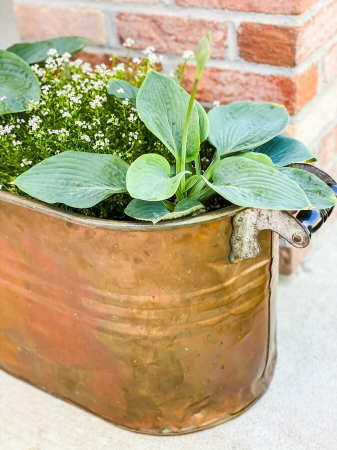 Make sure when planting hostaas in pots that they have proper drainage.