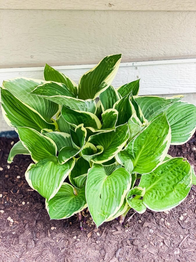 Hostas are great plants for transplanting after 4 years.