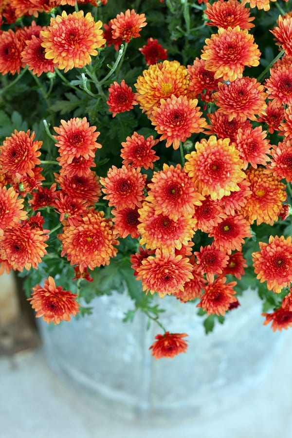 Orenagy red mums for our Fall porch.